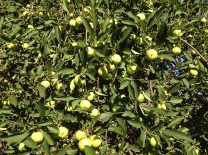 apple tree in my yard